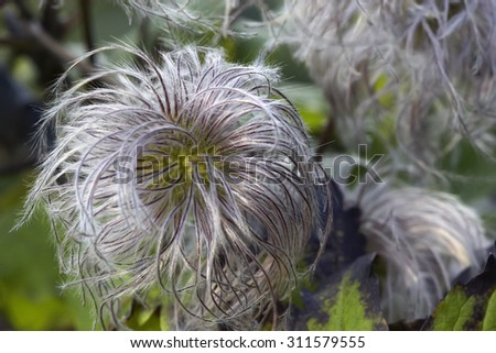 Rare species of clematis plant  - stock photo