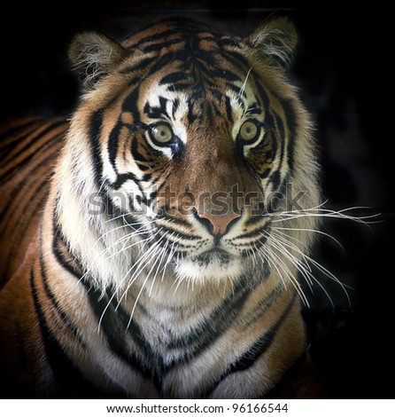 Rare Sumatran Tiger Isolated on Black Background - stock photo