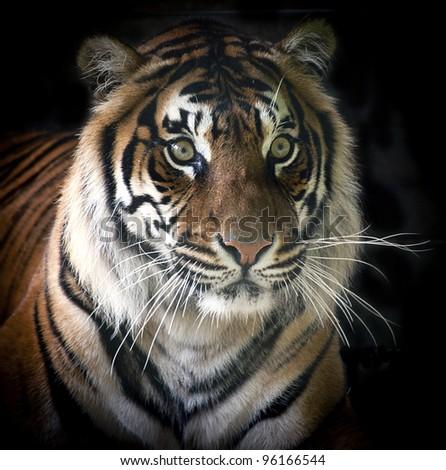 Rare Sumatran Tiger Isolated on Black Background - stock photo