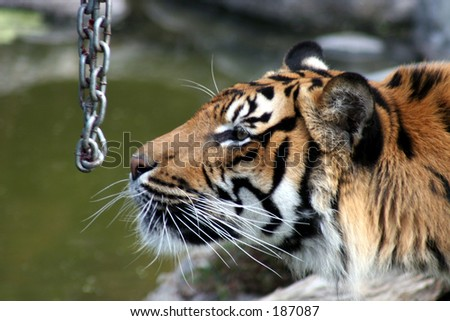 Rare Sumatran Tiger, sniffing chain that was holding his dinner!
