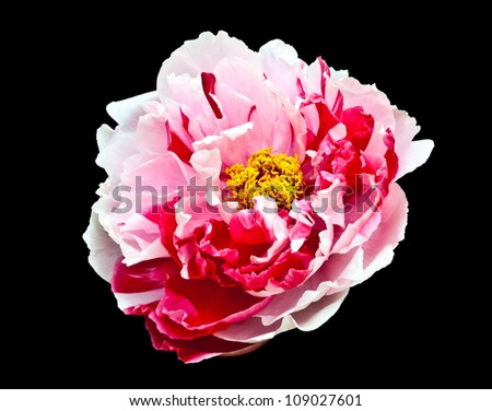 Rare type peony on black background. The chinese name of flower chinese name is erqiao.