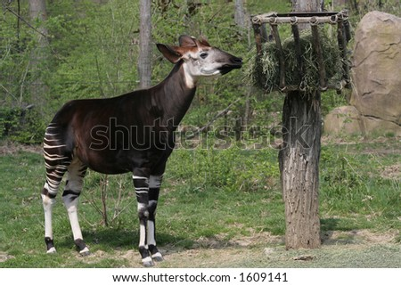 Rare Unusual Okapi
