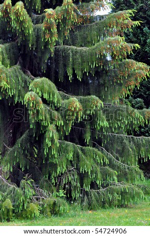 Rare Weeping Spruce Tree