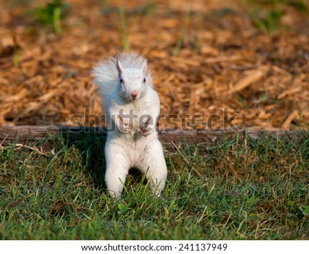 Rare white squirrel feeding on the ground in the city park in Olney, Illinois, one of the few places were a large number of them exist.