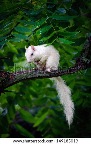Rare white squirrel in a tree in the city park in Olney, Illinois, one of the few places were a large number of them exist. The squirrels are not albino, but have white fur from leucism.
