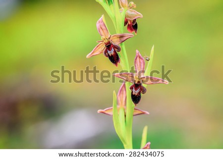 Rare Wild Hybrid Bee Spider Orchid, Ophrys luizetii - stock photo