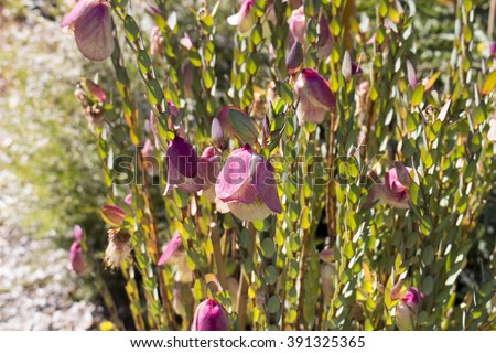 Rare  wildflower Qualup bell (Pimelea physodes)  indigenous to Western Australia growing in King's Park Botanic gardens , Perth, is eye catching with its bell shaped  blooms in late winter. - stock photo
