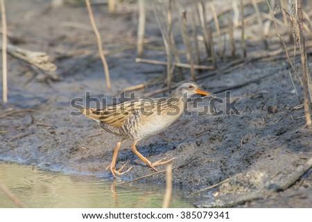 Rare Winter Visitor Bird : Eastern Water Rail eating small shrimp  - stock photo