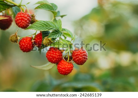 Raspberries. Growing Organic Berries Closeup. Ripe Raspberry In The Fruit Garden. Toned Instant Photo - stock photo