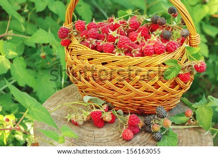 Raspberries in basket in the garden