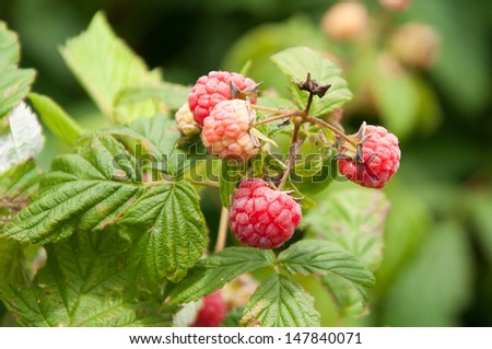 Raspberries ripen on the cane. - stock photo