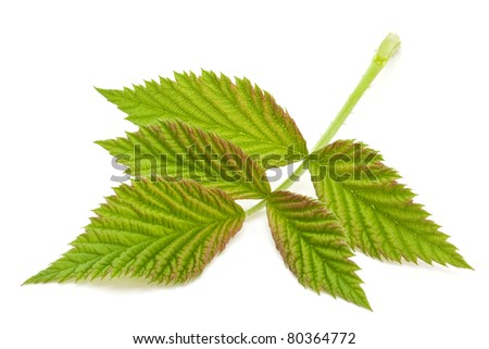 Raspberry green leave closeup isolated on white background
