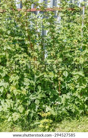 Raspberry in the vegetable  garden. Household plot. Dacha. - stock photo