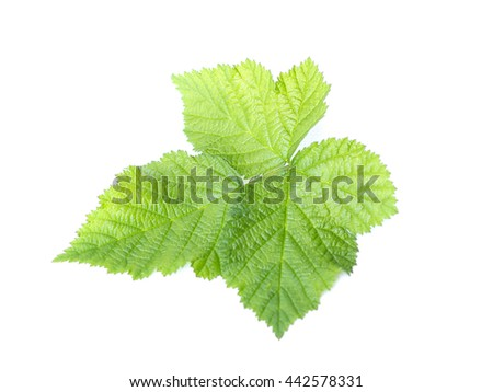 raspberry leaf on a white background - stock photo