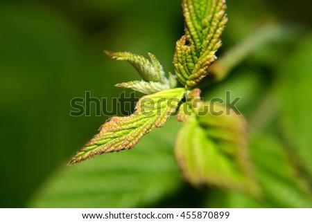 raspberry leaves  - stock photo