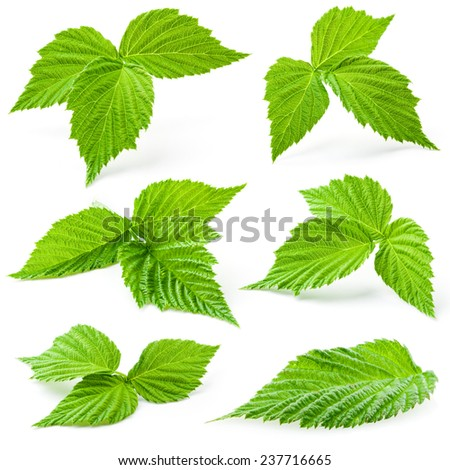 Raspberry leaves isolated on white background - stock photo