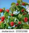 Raspberry on branch - stock photo