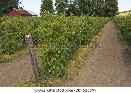 Raspberry plants in a field in rural Oregon. - stock photo
