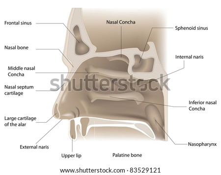 raster illustration of nose anatomy on white background, vector version available