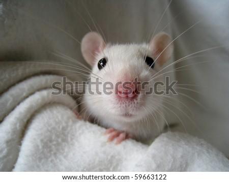 rat 5 - stock photo