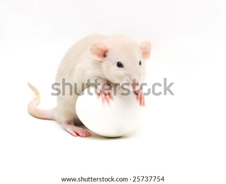 rat and egg - stock photo
