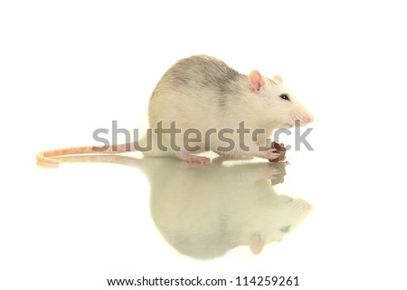 rat eating chocolate - stock photo