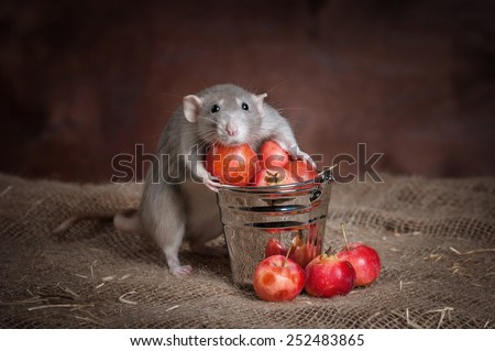 Rat gathered apples - stock photo