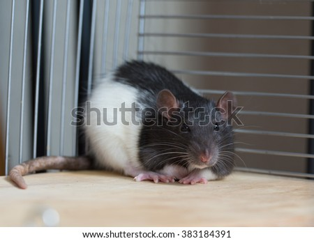 Rat in a cage - stock photo