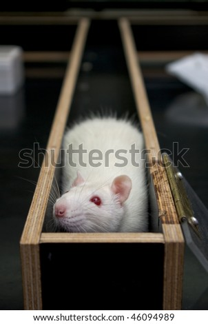 rat in a corner of a maze during experiment - stock photo