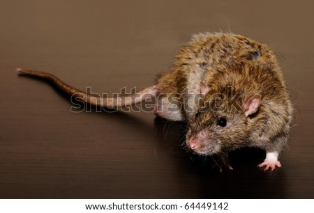 rat in a typical predatory posture - stock photo