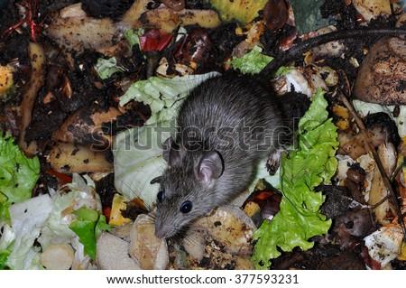 rat in a vegetable garbage bin - stock photo