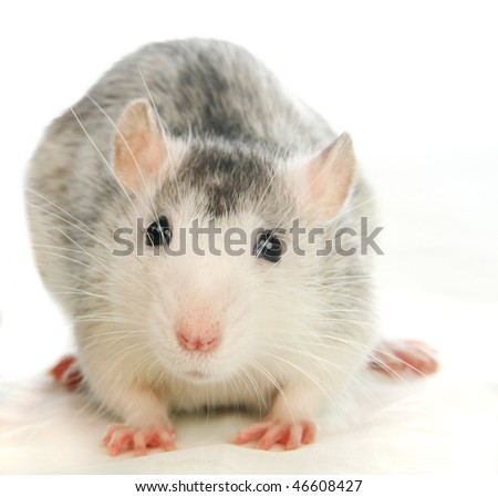Rat in front of a white background - stock photo