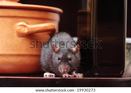 rat in kitchen,focus on a head. - stock photo