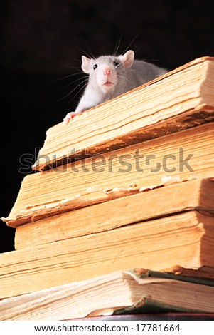 Rat  in library, focus on head - stock photo