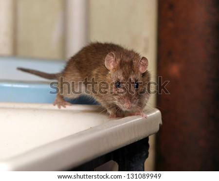 rat in the toilet looking for old water - stock photo