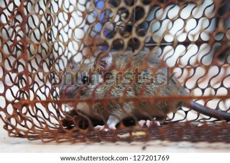 rat in trap - stock photo