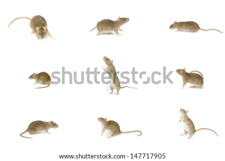 rat isolated on a white - stock photo
