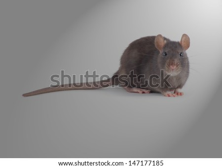 rat isolated on grey background