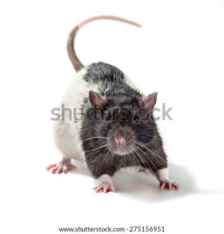 rat, isolated on white - stock photo
