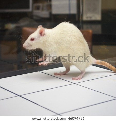 rat jumping on board during experiment - stock photo