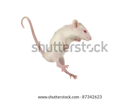 Rat on a white background - stock photo