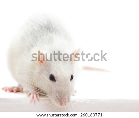 rat on a white background isolated