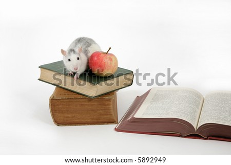 rat on stack of books with apple, isolated on white background - stock photo