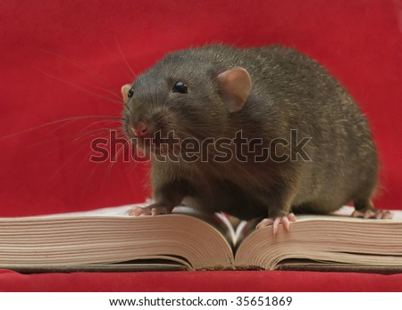 Rat on the book - stock photo
