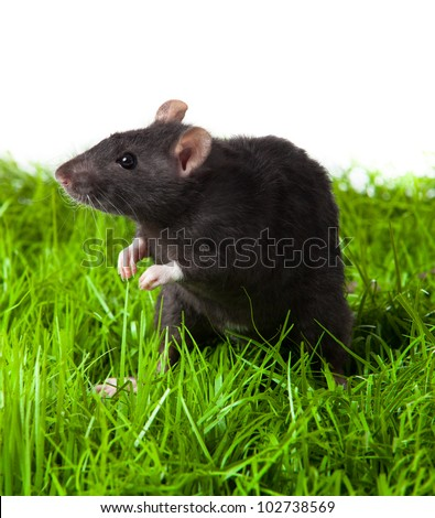 rat on the grass isolated in white. rat in green grass close up. - stock photo