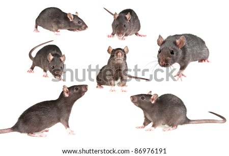 rat on white background - collection - stock photo