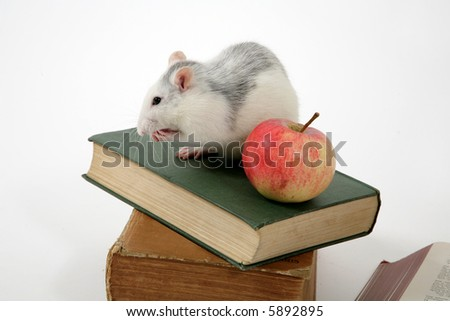 rat sitting on stack of books with apple, isolated on white background - stock photo