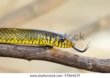 Rat Snake Flickering - stock photo