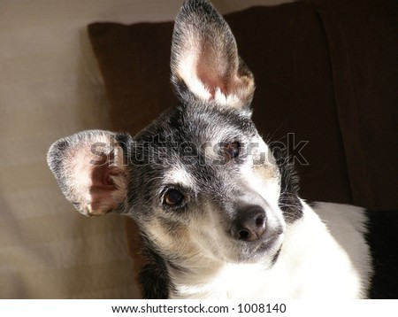 Rat Terrier on couch in early morning light.