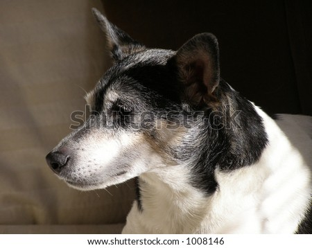 Rat Terrier on couch in early morning light. - stock photo